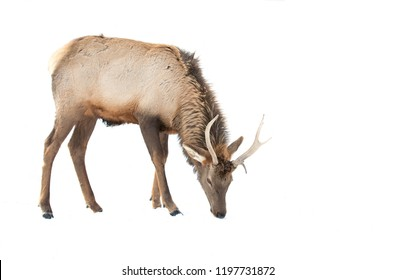 Bull Elk isolated against a white background standing in the winter snow in Canada