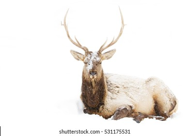 Bull Elk isolated on white background sitting in the snow in Canada
