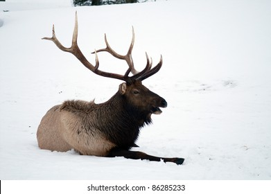 Bull Elk laying down in the snow and cold Alaska United States