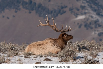 A bull elk lying down on an overlook; mountains in the background; snow on the ground; large antlers