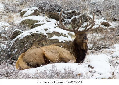 Bull Elk Lying in Snow, Rocky Mountain National Park, Colorado