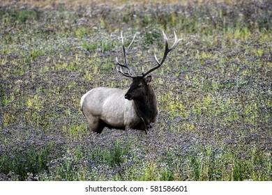 Bull Elk in Meadow