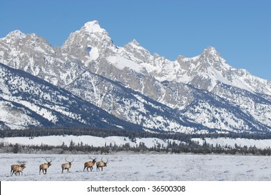 Bull Elk Migrating Through The Snow By The Grand Tetons