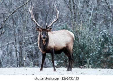 Bull elk on a frosty morning