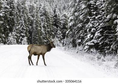 Bull Elk on Snowy Road