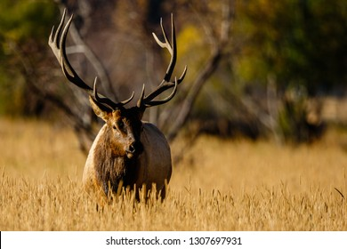 A bull elk pauses during the rut in Colorado