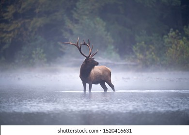 Bull Elk pauses in a stream on a misty morning.