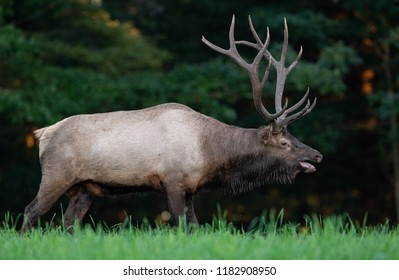 Bull Elk in Pennsylvania