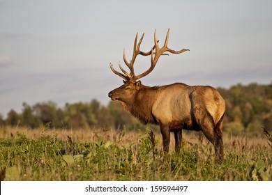 Bull Elk - Photograph taken in Elk County, Elk State Forest, Benezette, Pennsylvania