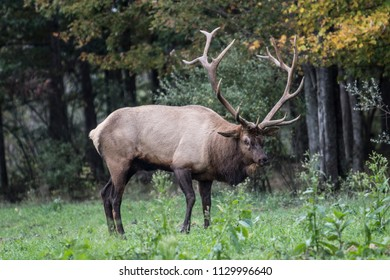 Bull Elk - photograph taken during the fall rut