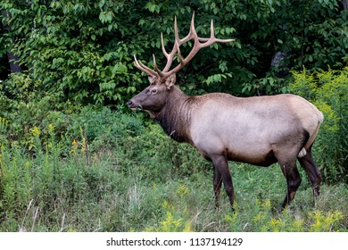 Bull elk - photograph taken during the rut.