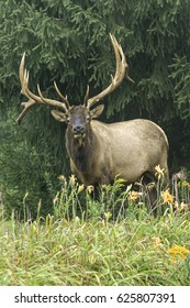 Bull Elk - Photograph taken in Elk State Forest, Elk County, Benezette, Pennsylvania.
