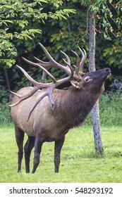 Bull Elk - Photograph taken in Elk Staye Forest, Elk County, Benezette, Pennsylvania.