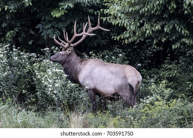 Bull elk photographed in Elk County, Elk State Forest, Benezette, Pennsylvania