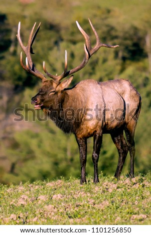Bull Elk - Photographed during the rut.