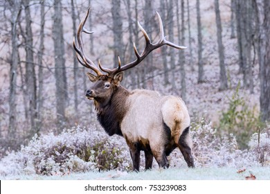 Bull Elk - Photographed on a frosty morning.