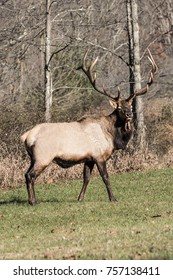 Bull Elk photographed in Pennsylvania