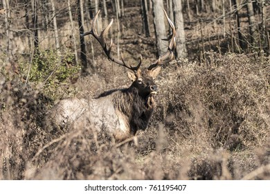 Bull Elk - Photographed in Pennsylvania