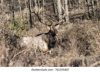 Bull Elk - Photographed in Pennsylvania