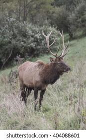 Bull Elk photographed in Elk State Forest, Elk County, Pennsylvania