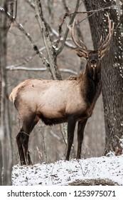 Bull Elk – Photographed in Elk State Park, Elk County, Benezette, Pennsylvania