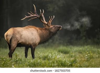 Bull Elk Portrait in Autumn
