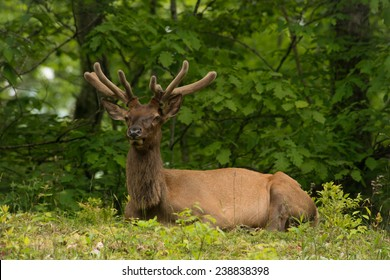 The Bull Elk relaxes in a summer shade along the Blue Ridge Parkway near the Great Smoky Mountains National Park.