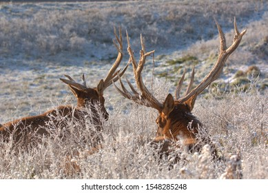 Bull Elk resting in the tall grass frozen with ice crystals after the first snowfall of the season