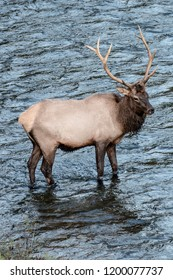 Bull elk in the river.