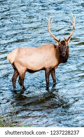 Bull elk in the river