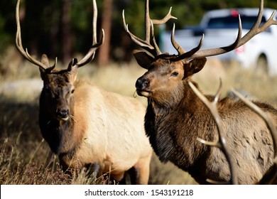 Bull Elk roaming across the Rocky Mountains of Colorado in preparation of the quickly approaching winter