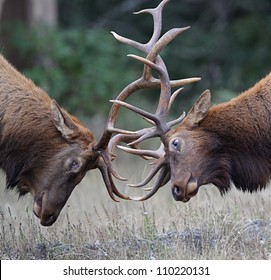 Bull Elk (Roosevelt subspecies) fighting during the September breeding season; Redwood National and State Parks, California coast, highway 101; Pacific Northwest wildlife / nature / outdoors / parks