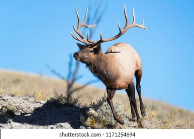 A bull elk runs down a ridge in Yellowstone National Park.