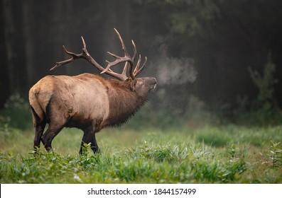 Bull Elk Rut in Autumn