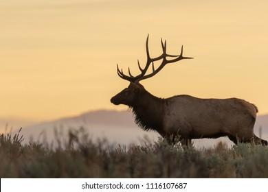 Bull Elk Silhouetted in an Autumn Sunrise