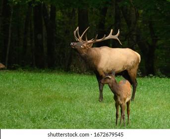 Bull Elk Sniffs The Air behind young elk calf