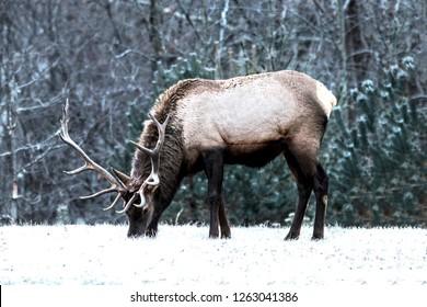 Bull elk in the snow