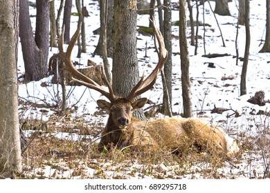 Bull Elk in Snow