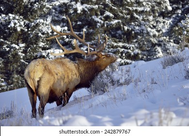 Bull Elk in snow forest in Yellowstone National Park.