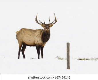 Bull elk in snow in sagebrush meadow in winter