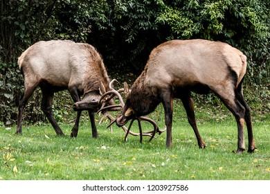 Bull elk sparring.