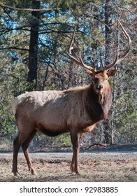 Bull elk standing in a forest