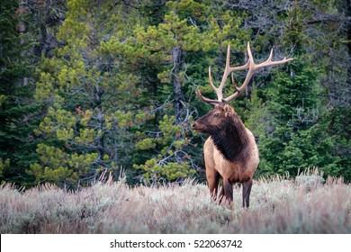 Bull Elk Standing in the Meadow