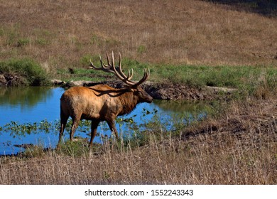 Bull Elk standing at a water home in a mountain meadow