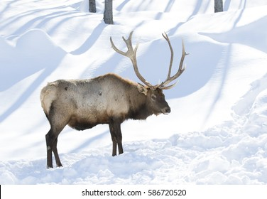 Bull Elk standing in the winter snow in Canada