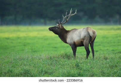 A bull elk stands at the edge of a grassy meadow in evening light.