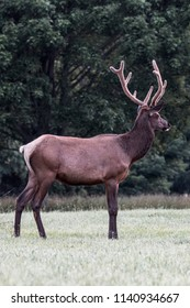 Bull Elk in the Summer