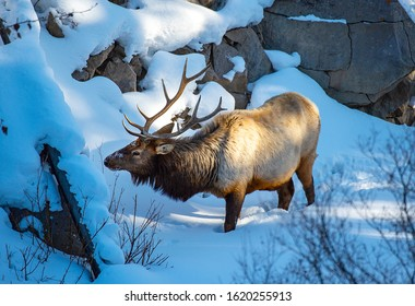Bull Elk surviving the winter