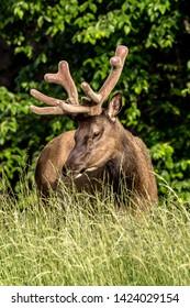 Bull elk in velvet dining on some grasses.
