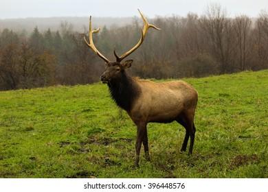 Bull elk walking on fall day